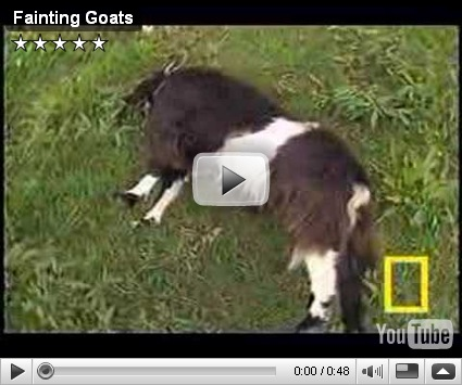 are called fainting goats